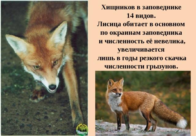 Хищников в заповеднике  14 видов.  Лисица обитает в основном  по окраинам заповедника  и численность её невелика, увеличивается  лишь в годы резкого скачка численности грызунов.