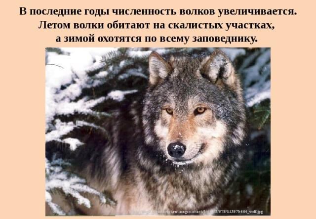 В последние годы численность волков увеличивается. Летом волки обитают на скалистых участках,  а зимой охотятся по всему заповеднику.