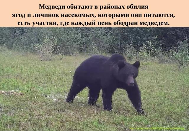 Медведи обитают в районах обилия  ягод и личинок насекомых, которыми они питаются,  есть участки, где каждый пень ободран медведем.