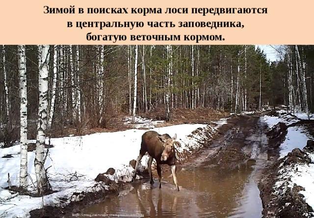 Зимой в поисках корма лоси передвигаются  в центральную часть заповедника,  богатую веточным кормом.