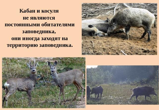 Кабан и косуля  не являются  постоянными обитателями заповедника,  они иногда заходят на территорию заповедника.