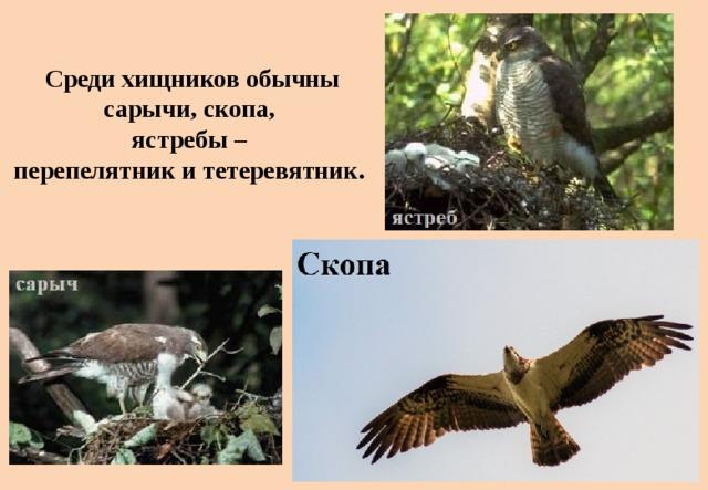 Среди хищников обычны сарычи, скопа,  ястребы –  перепелятник и тетеревятник.