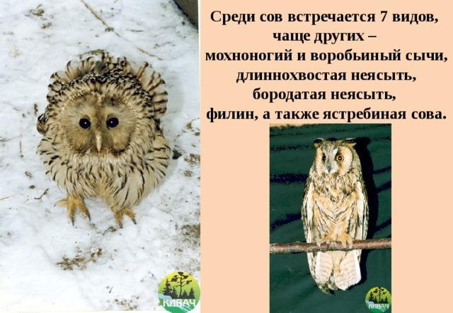 Среди сов встречается 7 видов,  чаще других –  мохноногий и воробьиный сычи, длиннохвостая неясыть, бородатая неясыть,  филин, а также ястребиная сова.