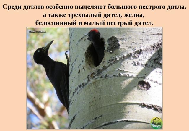 Среди дятлов особенно выделяют большого пестрого дятла, а также трехпалый дятел, желна,  белоспинный и малый пестрый дятел.