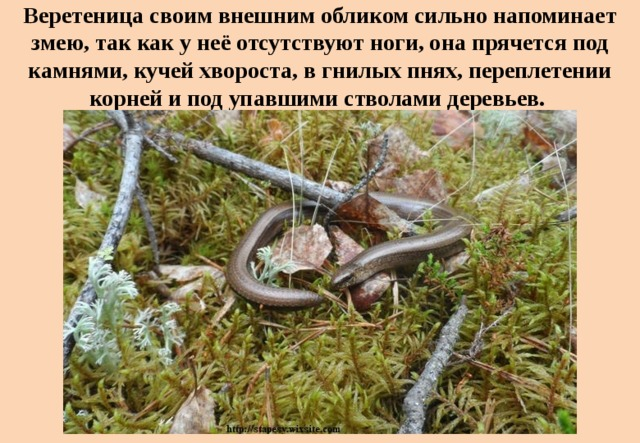 Веретеница своим внешним обликом сильно напоминает змею, так как у неё отсутствуют ноги, она прячется под камнями, кучей хвороста, в гнилых пнях, переплетении корней и под упавшими стволами деревьев.