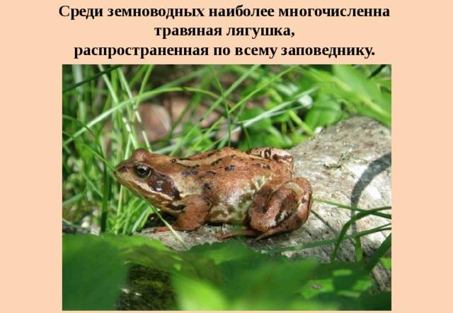 Среди земноводных наиболее многочисленна  травяная лягушка,  распространенная по всему заповеднику.