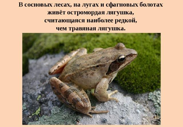 В сосновых лесах, на лугах и сфагновых болотах  живёт остромордая лягушка,  считающаяся наиболее редкой,  чем травяная лягушка.