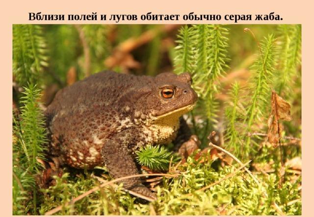 Вблизи полей и лугов обитает обычно серая жаба.