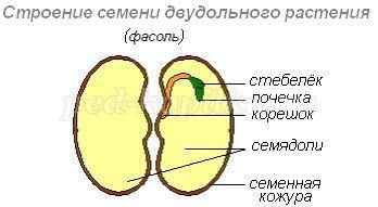 рисунок строения семени