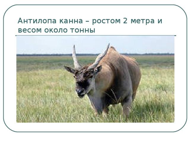 Антилопа канна – ростом 2 метра и весом около тонны