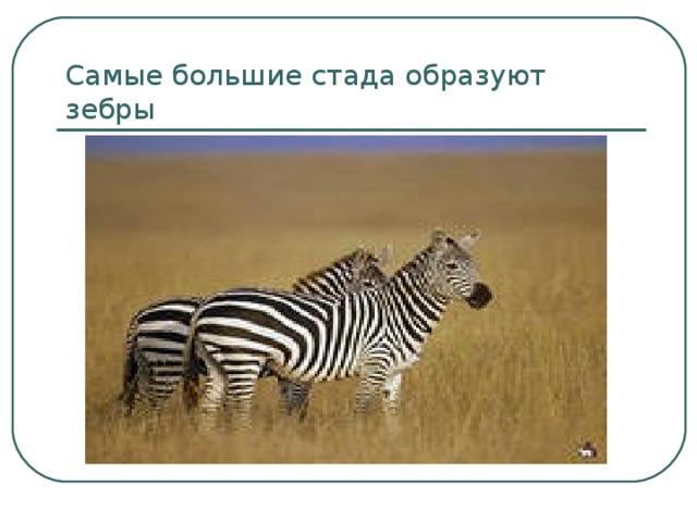 Самые большие стада образуют зебры