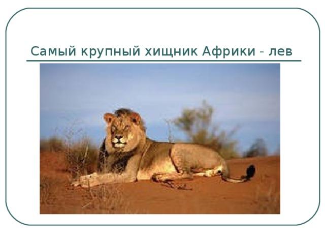 Самый крупный хищник Африки - лев