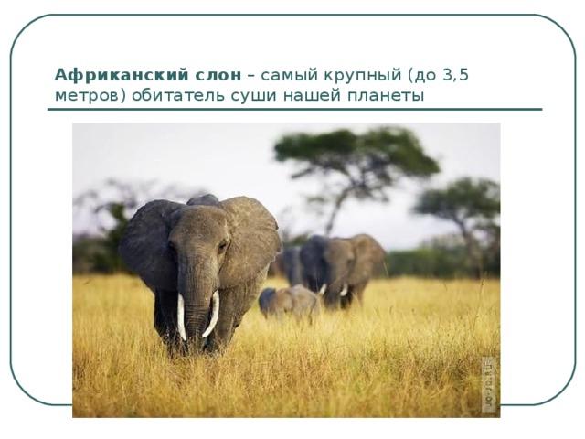 Африканский слон – самый крупный (до 3,5 метров) обитатель суши нашей планеты