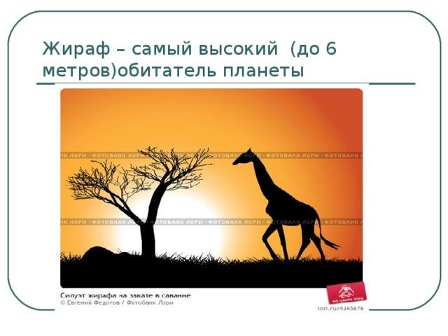 Жираф – самый высокий (до 6 метров)обитатель планеты