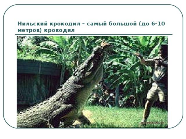 Нильский крокодил – самый большой (до 6-10 метров) крокодил