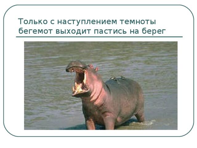 Только с наступлением темноты бегемот выходит пастись на берег