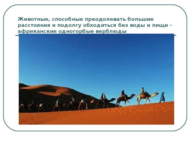 Животные, способные преодолевать большие расстояния и подолгу обходиться без воды и пищи – африканские одногорбые верблюды