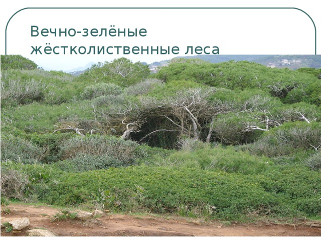 Вечно-зелёные жёстколиственные леса