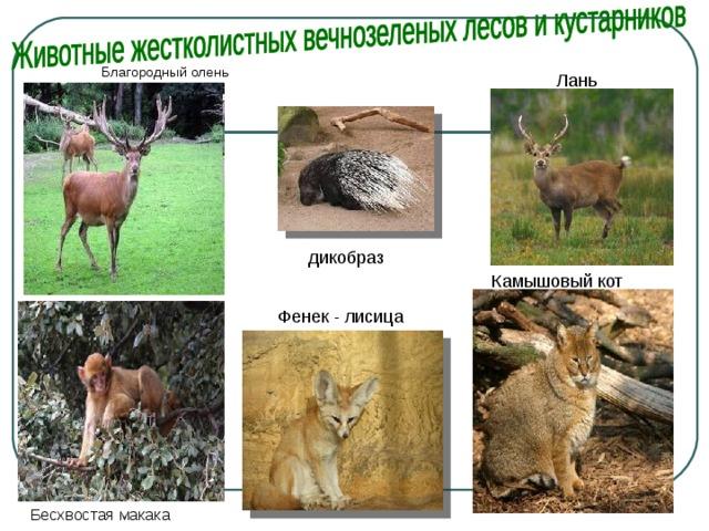 Благородный олень Лань дикобраз Камышовый кот  Фенек - лисица Бесхвостая макака