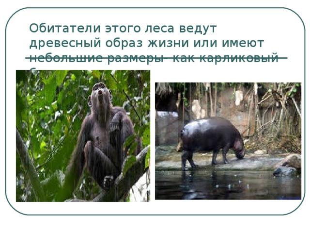Обитатели этого леса ведут древесный образ жизни или имеют небольшие размеры- как карликовый бегемот