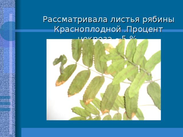 Рассматривала листья рябины Красноплодной .Процент некроза ~ 5 %.