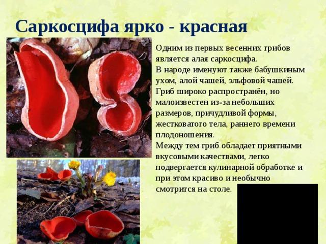 Саркосцифа ярко - красная Одним из первых весенних грибов является алая саркосцифа. В народе именуют также бабушкиным ухом, алой чашей, эльфовой чашей. Гриб широко распространён, но малоизвестен из-за небольших размеров, причудливой формы, жестковатого тела, раннего времени плодоношения. Между тем гриб обладает приятными вкусовыми качествами, легко подвергается кулинарной обработке и при этом красиво и необычно смотрится на столе.