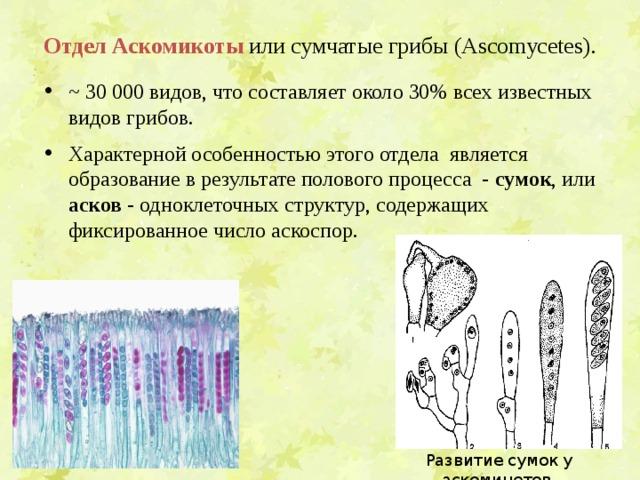Отдел  Аскомикоты  или сумчатые грибы (Ascomycetes).   ~ 30 000 видов, что составляет около 30% всех известных видов грибов.  Характерной особенностью этого отдела является образование в результате полового процесса - сумок , или асков - одноклеточных структур, содержащих фиксированное число аскоспор. Развитие сумок у аскомицетов.