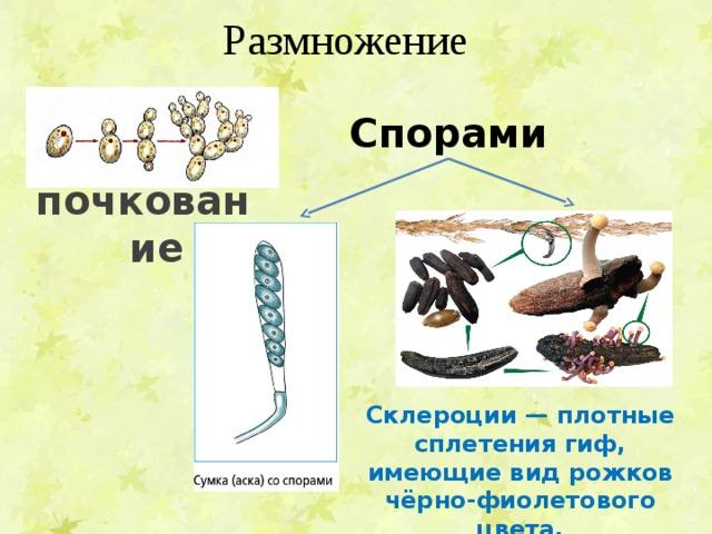 Размножение Спорами почкование Склероции— плотные сплетения гиф, имеющие вид рожков чёрно-фиолетового цвета.