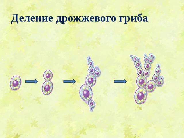 Деление дрожжевого гриба Посмотрим ещё раз поэтапно, как делятся дрожжи. Смотри!  На поверхности клетки появляется вырост, который постепенно увеличивается. Ядро материнской клетки делится на две части, одна из которых переходит в этот бугорок.  Таким образом, возникают две клетки. Обрати внимание на то, что материнская клетка при этом не перестает существовать, как это бывает при обычном делении материнской клетки на две дочерние.  Такой способ размножения называется почкованием.