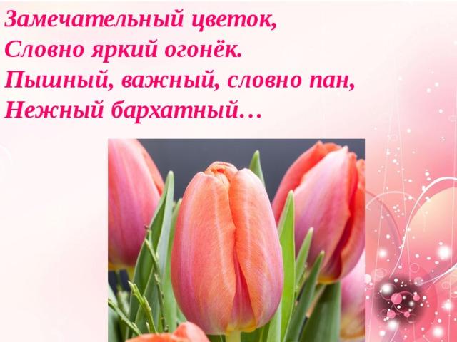 Замечательный цветок,  Словно яркий огонёк.  Пышный, важный, словно пан,  Нежный бархатный…