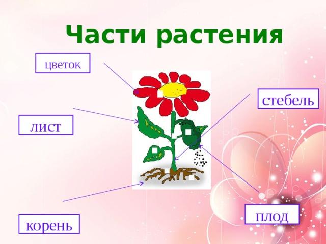 Части растения цветок стебель лист плод корень