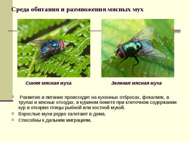 Среда обитания и размножения мясных мух Синяя мясная муха Зеленая мясная муха