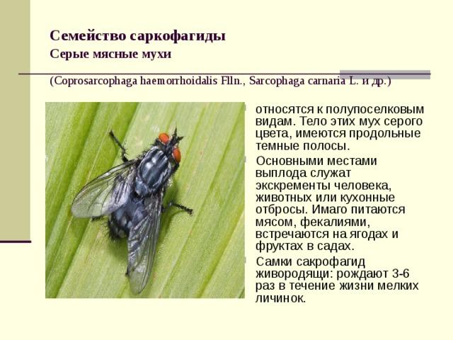 Семейство саркофагиды   Серые мясные мухи   (Coprosarcophaga haemorrhoidalis Flln., Sarcophaga carnaria L. и др.)