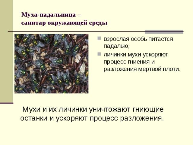 Муха-падальница –  санитар окружающей среды взрослая особь питается падалью; личинки мухи ускоряют процесс гниения и разложения мертвой плоти. Мухи и их личинки уничтожают гниющие останки и ускоряют процесс разложения.