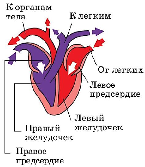 квартал картинки строения сердца птицы так называется