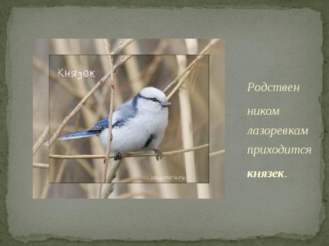 Родствен ником лазоревкам приходится князек . Князек действительно необычен. Он «одет» в полосатый бело-голубой фрак. Эта птица редкая, и сведения о ней записаны в Красную книгу.