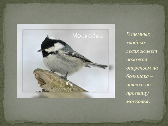 В темных хвойных лесах живет похожая опереньем на большака – птичка по прозвищу московка . Видимо, из-за мрачности среды обитания оперение у нее тусклое. Такое впечатление, что птицу посыпали крупинками угля. Ее можно узнать по белому пятну на зашейке.