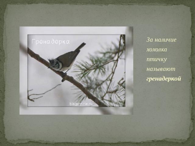 За наличие хохолка птичку называют гренадеркой Когда-то в 18 веке головные уборы гренадеров были с похожими хохолками. У гренадерки есть и обыкновенное название – хохлатая синица.