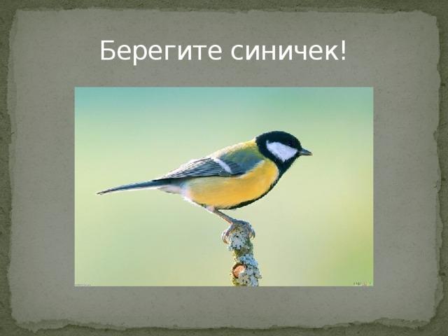 Берегите синичек! Вот вам мой совет дети – посмотрите на фото птицы синицы и запомните хорошенько ее описание. Берегите синичек, они вам за это отплатят в меру своих возможностей, защитят сад, и будут радовать Вас красивыми песнями, а еще дадут надежду на исполнение желаний.