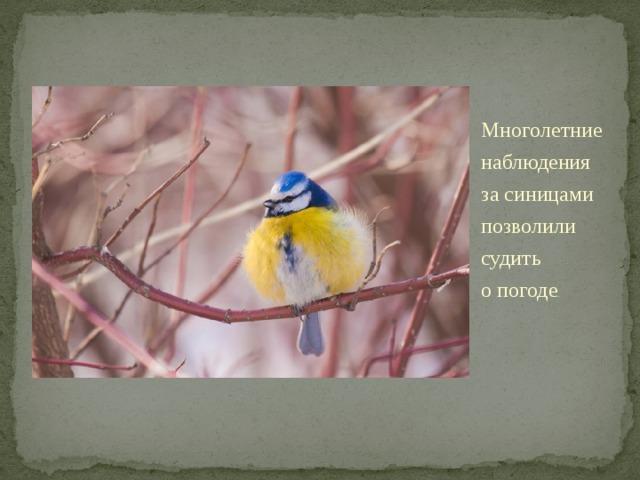 Многолетние наблюдения засиницами позволили судить опогоде . Если птицы целыми стайками появлялись удома— это предвещало скорые холода. Также предполагали: если синица свистит— это кясному дню, если пищит— кночному морозу. Много синиц накормушках ― кметели, снегопаду. «Синичка пищит— зиму вещит».