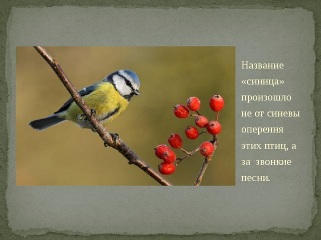 Название «синица» произошло неотсиневы оперения этих птиц, а за звонкие песни. . Изнаших синиц голубые перышки встречаются только улазоревки, итолишь намакушке икрылышках. Аимя свое синицы получили зазвонкие песни, напоминающие перезвон колокольчика: «Зинь-зинь!».