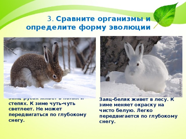 3. Сравните организмы и определите форму эволюции Заяц-русак живёт в полях и степях. К зиме чуть-чуть светлеет. Не может передвигаться по глубокому снегу. Заяц-беляк живет в лесу. К зиме меняет окраску на чисто белую. Легко передвигается по глубокому снегу.