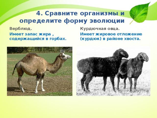 4. Сравните организмы и определите форму эволюции Курдючная овца. Имеет жировое отложение (курдюк) в районе хвоста. Верблюд. Имеет запас жира , содержащийся в горбах.
