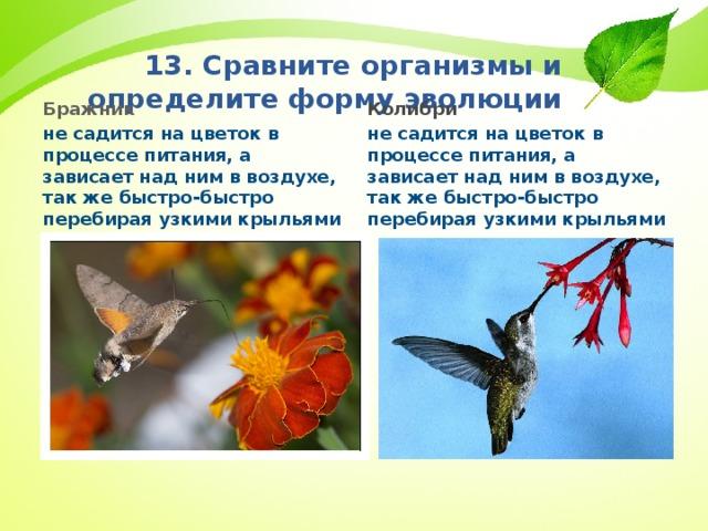 13. Сравните организмы и определите форму эволюции Колибри не садится на цветок в процессе питания, а зависает над ним в воздухе, так же быстро-быстро перебирая узкими крыльями Бражник не садится на цветок в процессе питания, а зависает над ним в воздухе, так же быстро-быстро перебирая узкими крыльями