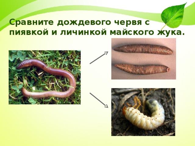Сравните дождевого червя с пиявкой и личинкой майского жука.