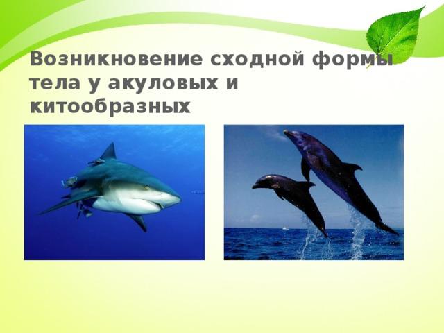 Возникновение сходной формы тела у акуловых и китообразных