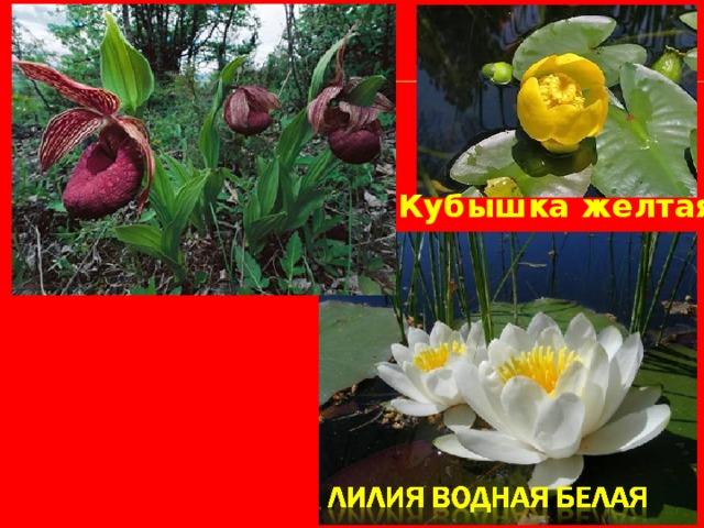 Кубышка желтая Башмачок настоящий «Венерин башмачок»