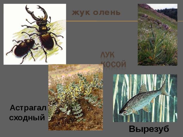 жук олень Астрагал сходный  Вырезуб