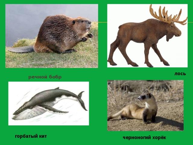лось речной бобр горбатый кит черноногий хорёк