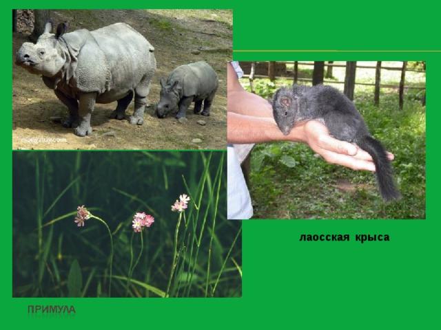 носорог  лаосская крыса